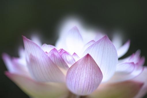 自然 植物 花 はす ハス 初夏 夏 夏の花 仏さま お盆 盆休み 夏休み 七夕 梅雨明け 季節感 背景 テクスチャー 暑中見舞い ポストカード 光透過光 光を浴びて 水辺に咲く花 池に咲く花 湖に咲く花 水に咲く花 ピンクの花 夏の風物詩 日本の夏 庭園 日本庭園 沼 ハスの花 アップ コピースペース バックスペース エコ・環境