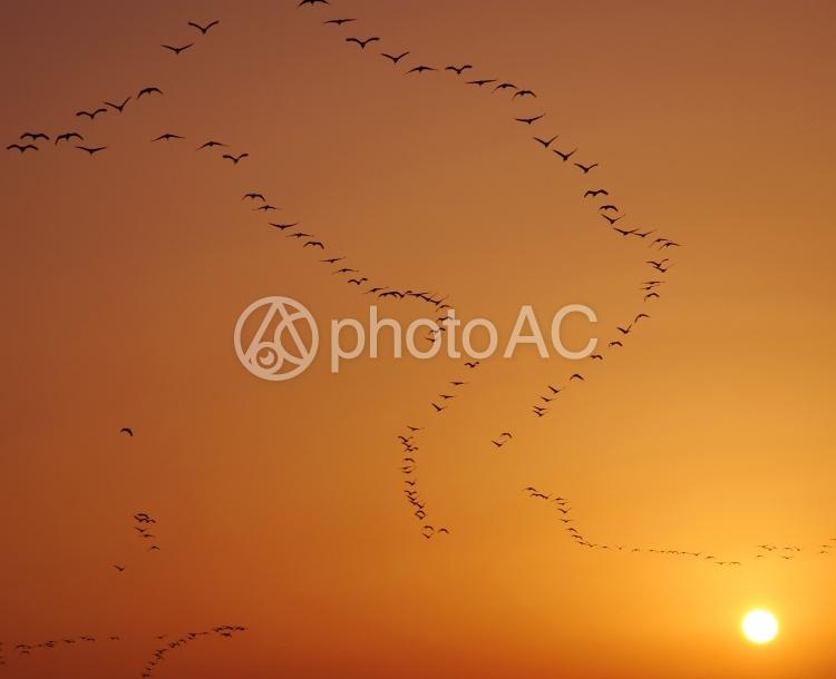 飛翔 鶴の写真