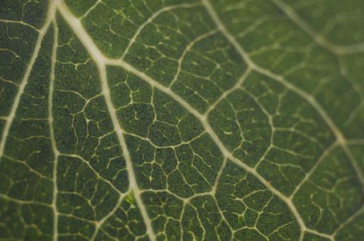 静物 背景 余白 影 スナップ 模写 置く 物 物体 デッサン 練習 習作 自然 植物 葉っぱ 葉 葉脈 道 分かれ道 生物 理科 研究 細胞 アップ ズーム 緑