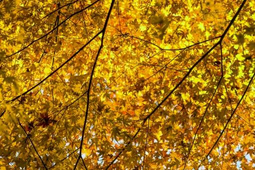 自然 植物 木 樹木 葉 葉っぱ 彩り 紅葉 もみじ 赤色 秋 10月 11月 山 森 林 森林 密集 集まる 多い 沢山 重なる 見頃 見物 観光 観光客 旅行 アップ 撮影 景色 綺麗 鮮やか 屋外 室外 無人 風景