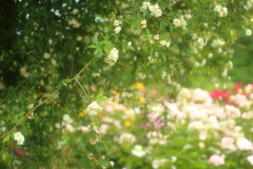花びら 光 パステルカラー キラキラ 夏 園芸 花壇 天気 風景 おめでとう ホワイト 淡い ツルバラ つるばら バックグラウンド フラワー 爽やか happy birthday 背景デザイン 自然 ナチュラル 幸せ ブーケ 春 薔薇 バラ ばら 花束 プレゼント フラワーアレンジ 入学 贈り物 ギフト お祝い 結婚 母の日 誕生日 ウェディング カード メッセージ バースディカード 背景 壁紙 花 植物 卒業 初夏 5月 記念日 メッセージカード 可愛い かわいい 優しい ソフト やわらかい バレンタイン バレンタインデー ホワイトデー 背景素材 素材 ピンク 赤 モッコウバラ rose rosa ローズ