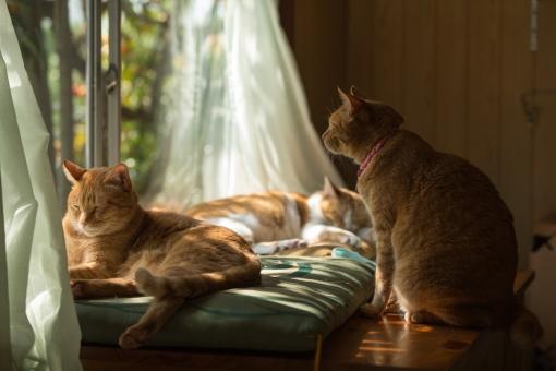 ネコ 猫 ねこ にゃんこ 寝る子 neko 可愛い 愛らしい 愛おしい ラブリー キュート 茶トラ 茶トラ白色 窓 カーテン 陽だまり 日差し 座布団 影 家猫 飼い猫 家族 ペット 癒し モフモフ 穏やか 肉球の日 猫の日 猫ブーム