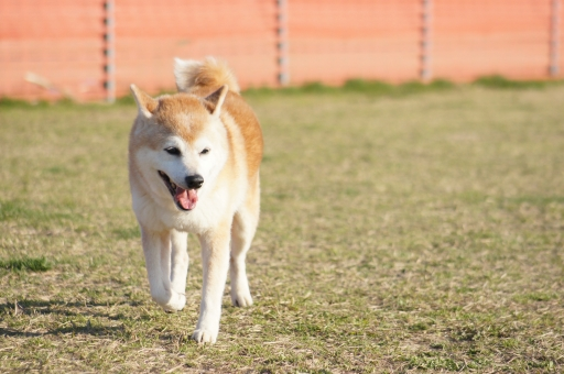 笑顔の柴犬8の写真