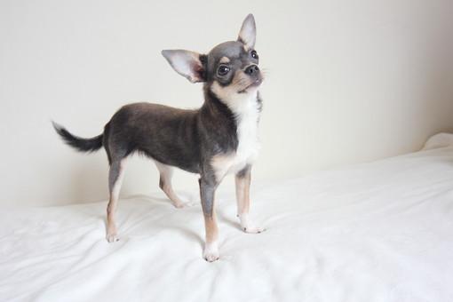 チワワ 犬 ペット ドック 動物 愛犬 哺乳類 一匹 生き物 生物 ペットショップ 動物病院 小型犬 中型犬 グレー 立つ ねだる カワイイ かわいい 可愛い 飼う 買う 育てる しつけ 調教 小さい ちいさい 耳 しっぽ 尾