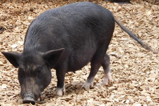 ミニ ミニブタ 豚 ブタ 黒 散歩 かわいい 可愛い 背景 背景素材 動物 動物園 小動物 ペット 癒し