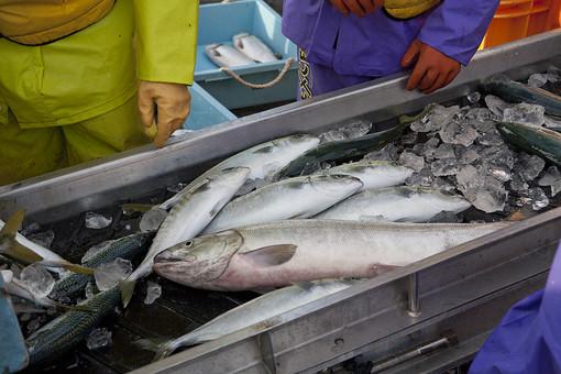 屋外 野外 漁 海上 漁獲 漁り 魚 獲る 漁業 海 水揚げ 大量 大漁 釣り 漁獲 早朝 船 船上 漁船  網 引き揚げ 捕獲 人 人物 漁師 仕分け コンベア 機械