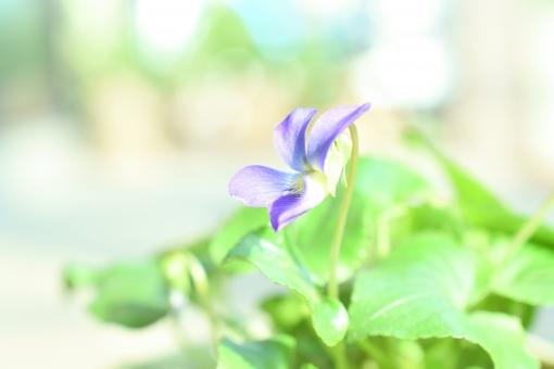 すみれ スミレ 菫 春 野草 明るい 背景 壁紙 幻想的 エアリー エアリーフォト コピースペース 文字スペース テクスチャ 花 植物 パステル 紫 紫色 メルヘン