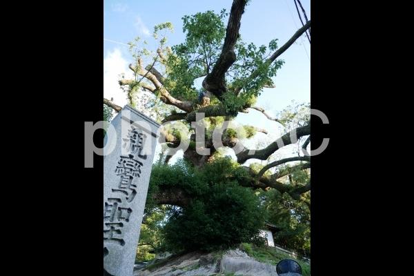 青蓮院門跡の大楠の写真