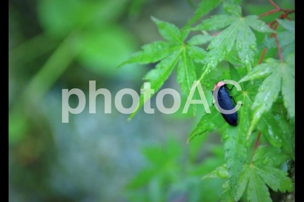 ゲンジボタルの写真