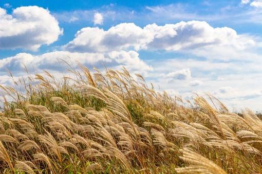 風になびくススキ 1の写真