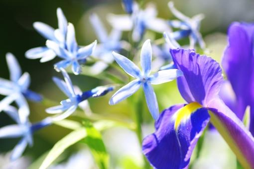 5月 五月 6月 六月 庭園 ガーデン 草花 栽培 チョウジソウ キョウチクトウ科 水色 ブルー 淡い うすい 薄い あわい リンドウ目 有毒 星 星型 花 植物 庭 庭の花 丁字草