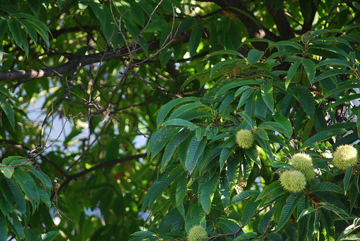 自然 風景 環境 植物 花 草花 観葉 手入れ 栽培 世話 水やり 植える 育てる ベランダ 庭 林 公園 花壇 癒し 咲く 開花 成長 土 観察 アップ たくさん きれい 栗 木 木の実 毬栗