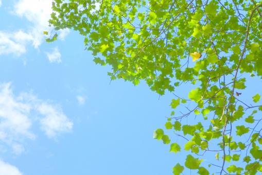 瑞々しいグリーン(プラタナス)の写真