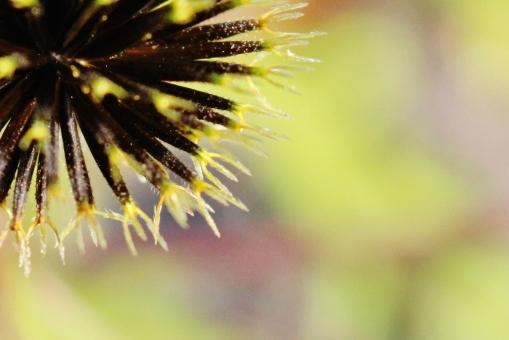 センダングサ 秋 ひっつき虫 草 雑草 草の種 種子 散歩道 返し針 フォーク 野原 道端 野山 植物 トゲ 刺 ひっつく 自然 草花