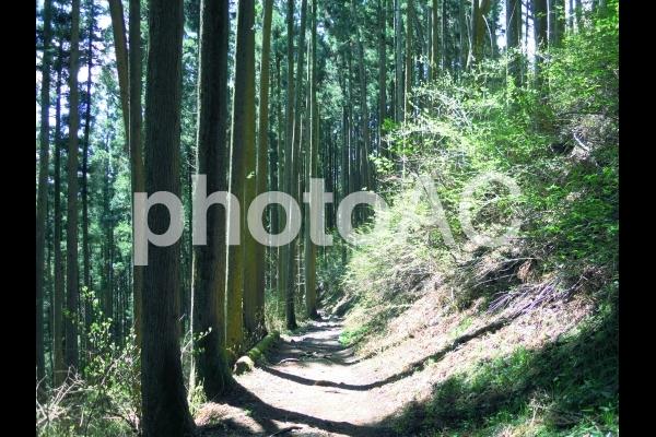 山道に沿って立つ杉の木の写真