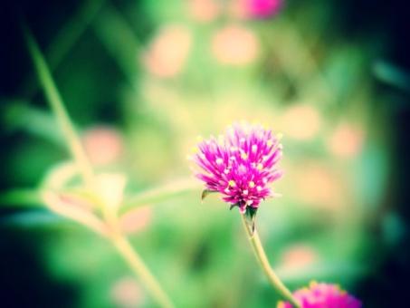 千日紅 センニチコウ 花 植物 花壇 植物園 ピンク 赤紫 レトロ トイフォト