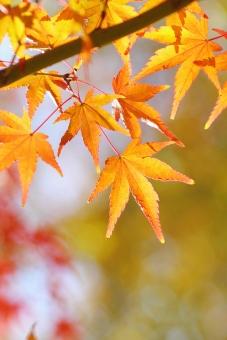 紅葉 もみじ 秋 葉 葉っぱ 秋の植物 逆光 橙色 オレンジ色 オレンジ 枝 えだ 植物 和 日本 和風 10月 10月 十月 11月 11月 十一月