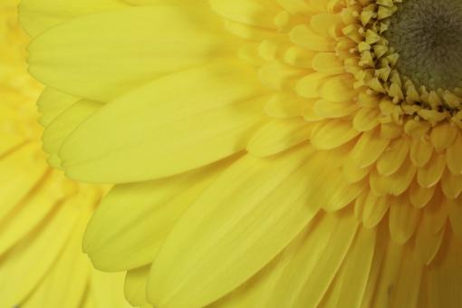 ガーベラ 黄色のガーベラ 黄色いガーベラ 植物 花びら 自然 春 白バック フラワーアレンジメント かわいい 明るい アップ クローズアップ マクロ 美しい 接写 きれい 綺麗 黄色 花