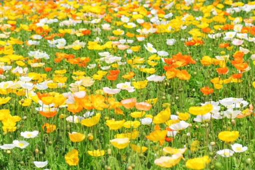 ポピー 春 お花畑 お花 花 自然 背景 バック オレンジ色 橙色 黄色 華やか 花畑 景色 風景 背景 背景素材 素材 背景写真 4月 5月 初夏 鮮やか 色鮮やか 彩り 屋外 日本 綺麗 一面 明るい