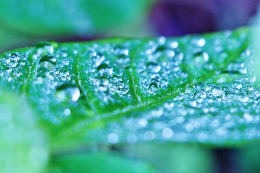 しずく 滴 雫 雨 水 水玉 水滴 葉っぱ 葉 グリーン 緑 緑色 クローズアップ 自然 スナップ