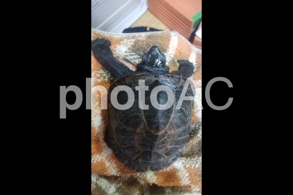 タオルの上のクサガメの写真