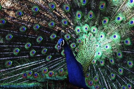 屋外 生物 鳥類 鳥 クジャク 羽 羽根 広げる 模様 カラフル 立つ 孔雀 くじゃく 生き物 昼 色 アップ 青 無人 緑 主張 鮮やか 優雅 美しい 華やか 一羽 一匹