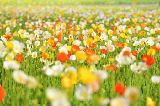 ポピー アイスランドポピー 花 花畑 植物 春 背景素材 テクスチャー テクスチャ 黄色 オレンジ色 グリーン 風景 カラフル 明るい 背景