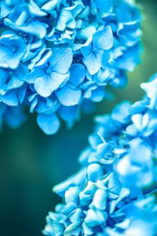 自然 植物 花 花びら 青色 水色 葉 葉っぱ 緑 小花 満開 開く 咲く 開花 成長 育つ 集まる 密集 多い 沢山 ぼやける ピンボケ あじさい アジサイ 紫陽花 重なる 加工 無人 室外 屋外 風景 景色 幻想的