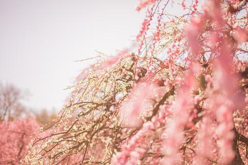 自然 植物 花 花びら 白色 ピンク色 桃色 垂れる 枝垂れ 梅 アップ ピンボケ ぼやける 沢山 集まる 密集 多い 満開 咲く 開花 開く 枝 成長 育つ 伸びる 空 曇り 天気 無人 室外 屋外 風景 景色 幻想的