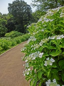 アジサイ あじさい 紫陽花 花 植物 自然 風景 景色 見頃 開花 アート撮影 葉っぱ グリーン 緑 木々 空 ガクアジサイ 白 小道 公園 通路 歩道 背景 晴れ