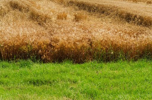 枯れ草 草 枯れる 収穫 秋 実り 麦 麦芽 小麦 草むら 自然  茶色 緑 緑色 田舎 故郷 田園 自然 豊か 水不足  栄養不足 原っぱ こげ茶色  秋 初秋