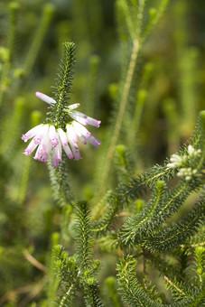自然 風景 環境 植物 花 草花 観葉 手入れ 栽培 世話 水やり 植える 育てる ベランダ 庭 林 公園 花壇 癒し 咲く 開花 成長 土 観察 アップ ヒース ヘザー