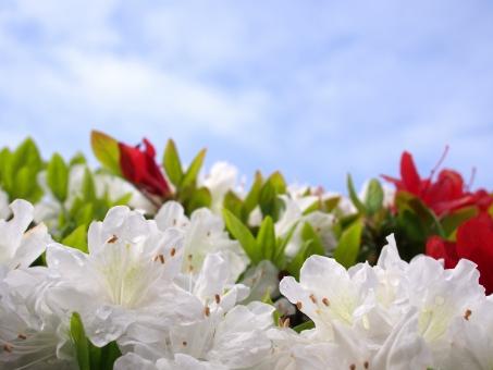 ツツジ つつじ 躑躅 園芸 鑑賞 園芸品種 庭園 公園 白い花 花 植物 空