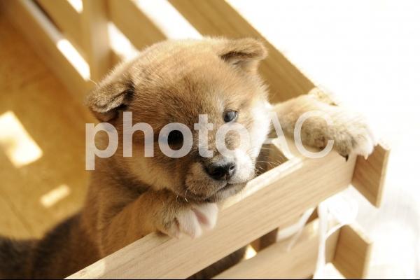 すのこから顔を出す柴犬 子犬の写真