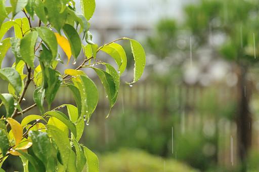 雨 あめ 雨降り 小雨 土砂降り 庭 自然 天気 降る 自然 植物 樹木 枝 小枝 アップ ぼかし 屋外 外 木 樹 葉 葉っぱ しずく 雫 水滴