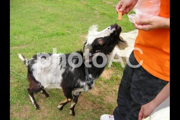 ヤギと人参の写真