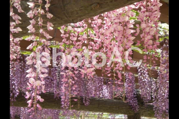 藤の花 ピンク 紫の写真