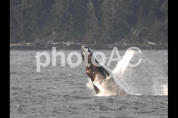 ザトウクジラ2の写真