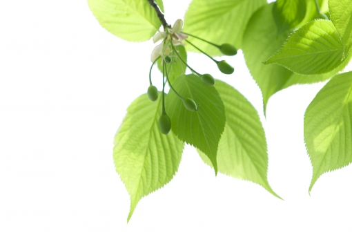 自然・風景 植物 樹木 木の葉 葉っぱ 新緑 若葉 新芽 春・初夏 夏 待ち受け画面 ポストカード コピースペース 背景 野外アウトドア 森・林・公園 みずみずしい エコ・環境 季節感 バックスペース 光を浴びて 光溢れる 光透過光 五月・六月 六月・七月 木漏れ日 季節感 暑中見舞い 緑の葉っぱ