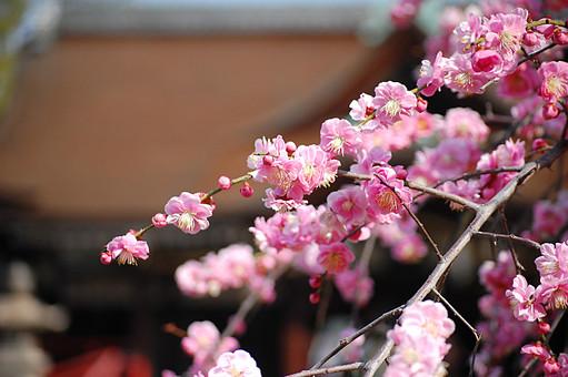 梅 梅園 つぼみ 春 自然 枝 ピンク  桃色 植物 花 屋外 木 咲く 風景 快晴 明るい 花びら 散る 開花 花見 淡い 冬 新年 迎春 早梅