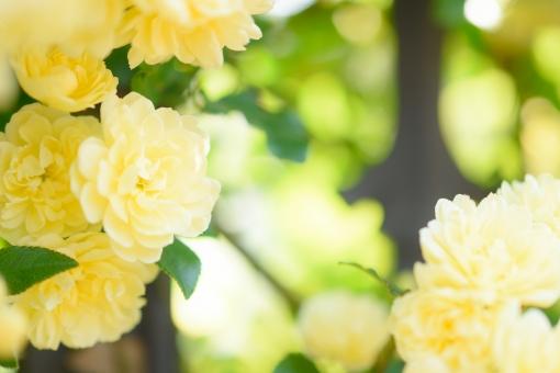 薔薇 バラ ばら モッコウバラ 黄色 淡い 花 植物 つる つる性 低木 庭 ガーデニング フレーム テクスッチャ 背景 バックグラウンド 文字スペース コピースペース 淡い黄色 明るい 光 春 春の花 エレガント ツルバラ つるばら 蔓 蔓薔薇