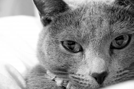 ねこ ネコ 猫 ロシアンブルー キャット cat モノクロ 白黒 正面 目 鼻 ひげ 真顔 眼差し まっすぐ ほわほわ もこもこ 柔らかい 可愛い 動物