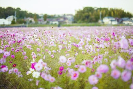 秋の風景 コスモス アキザクラ 秋桜 コスモス畑 花畑 花園 桃色 ピンク 白 緑 植物 花 草花 一面 満開 散歩 散策 空 田舎 自然 風景 景色 真心 のどか 鮮やか 美しい 綺麗 明るい ボケ味 ピントぼけ ぼかし セピア 思い出