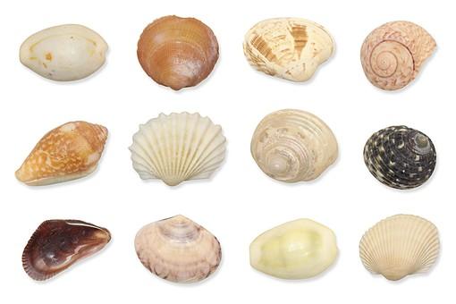 貝 貝殻 かい 静物 骨貝 海 海の生き物 生物 動物 白バック イメージ 夏 並んだ