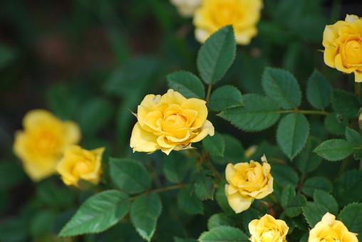 花 植物 生花 フラワー アップ クローズアップ 屋外 外 野外 葉 葉っぱ 草花 ガーデニング 栽培 自然 風景 花弁 園芸 庭 趣味 花びら 開花 めしべ おしべ 植物素材 花素材 緑 バラ ばら 薔薇 ローズ 黄色 荊 とげ トゲ 父の日