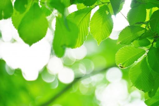葉 緑 木 新緑 新芽 日本 木の葉 自然 植物 屋外 壁紙 背景 背景素材 バックグラウンド 光 青空 環境 エコ 木漏れ日 こもれび 枝 さわやか 爽やか 初夏 若葉 グリーン 明るい 林 樹木 春 里山 癒し リラクゼーション 輝き マイナスイオン 森林セラピー テクスチャー ブナ
