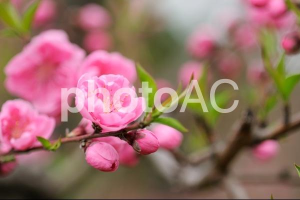 桃の花_3の写真