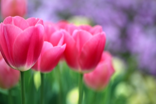 自然・風景 植物 花 赤い色の花 チューリップ 春の花 春イメージ チューリップ畑 花畑 新緑 若葉 新芽 待ち受け画面 ポストカード コピースペース 背景 野外アウトドア 森・林・公園 元気いっぱい みずみずしい 新鮮な 光を浴びて 光溢れる 光透過光 バックスペース 季節感 カラフル エコ・環境