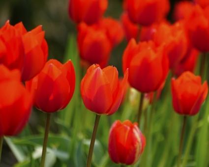 チューリップ 赤いチューリップ 花 植物 春の花 思いやり 愛の告白 春の先駆け 公園 花壇