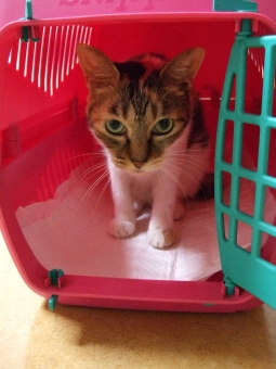 猫 ネコ ねこ 三毛猫 キャット にゃんこ キャリーバッグ キャリーケース 白いひげ 白い手 耳 シマ模様 表情 視線 開いた目 目を開けた 様子をうかがう 待つ 準備万端 家猫 飼い猫 室内猫 入った 1匹 お出かけ準備 シート 座った 覗く